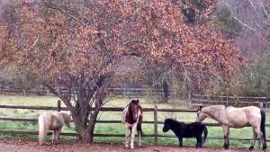 IMG_2015 Fall Ponies